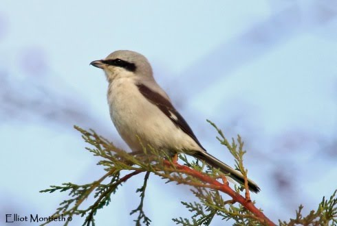 manchester-great-grey-shrike_edited-1